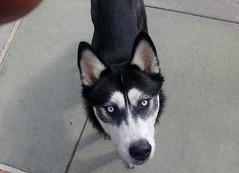 Huskie says hi (DrPain9000) Tags: huskie husky dog cute animals