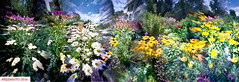 The light of summer- I (DelioTO) Tags: 6x17 autaut botanical canada city closeup colours curved f175 flowers garden july landscape natparks ontario panoramic pinhole portra trails