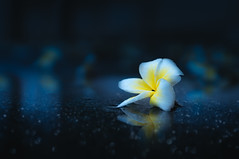 Plumeria after the rain (Hoang Nam Duong) Tags: nature champa laos vientiane travel bokeh rain stilllife reflection blue cold plumeria flowers depthoffield outdoor