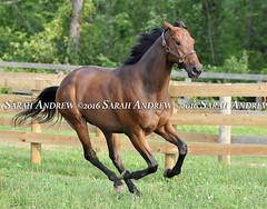 Most Happy Fella, happy in retirement at ReRun in NY (Rock and Racehorses) Tags: webmosthappyfellaska7409sarahandrew mosthappyfella rerun ny takethelead retired ottb warhorse thoroughbred myra racehorse saratoga nyra
