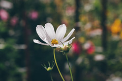 Growing up (Akapov Photography) Tags: 100mm beautiful blossom canon canon6d clean colorful flor flores flower flowerphotography flowers growingup macro macrophotography naturaleza nature pretty simple striking theoldest white yellow