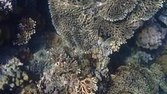 DJIBOUTI (54 of 88) (GregoireDubois) Tags: djibouti nature sea diving wildlife corals
