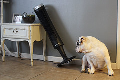 Knocked over tower fan (yourbestdigs) Tags: dog fan cooler one doggy funny lying front humor bulldog wind face french home resting bull background metal hot electric blow white ears summer cute object cool looking domestic canine pet animal air