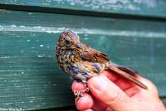 Juvenile Dunnock (Sophiee_webster) Tags: bird dunnock birdringing birdbanding juvenile northumberland uk wildlife nature naturereserve lowhauxley macro detail closeup birdwatching