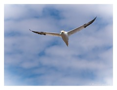 """Angel"" Fou de Bassan / Northern gannet (pascaleforest) Tags: foudebassan ilebonaventure voler fly oiseau bird gaspsie passion rve dream sky ciel nuage cloud"