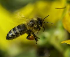 Bee_SAF3459-2 (sara97) Tags: bee copyright2016saraannefinke flyinginsect insect missouri nature outdoors photobysaraannefinke pollinator saintlouis towergrovepark urbanpark wildlife