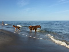 Assateague Island National Seashore Camping Vacation 2016 - Horses on the Beach (Mrs. Gemstone) Tags: island national seashore camping vacation beach wildlife wild wildhorses horse assateague foal