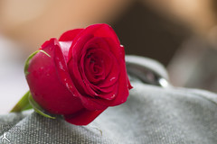 Renn Faire Rose (FightGuy Photography) Tags: rose redrose flower macro naturallight closeup nature fightguyphotography watermark bokeh