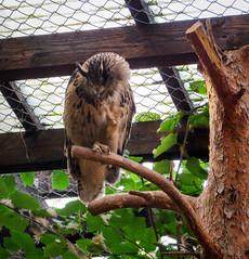IMG_5289 (jaglazier) Tags: 2016 91416 animals bielefeld bielefeldzoo birds copyright2016jamesaglazier germany owls september teutoburg teutoburgforest teutoburgerwald zoos parks nordrheinwestfalen