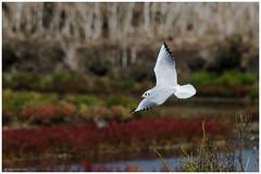 Mouette rieuse - 1 (Laurette.C) Tags: mouette oiseau vol mouetterieuse nikon lilleaudesniges chroicocephalusridibundus nature 300mm d7000