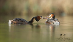 Great Crested Grebe Family (Alastair Marsh Photography) Tags: family food baby lake fish bird water birds animal animals fishing feeding wildlife yorkshire feathers feather waterbird chick chicks feed babybird britishwildlife grebe babybirds greatcrestedgrebe grebes britishbirds britishbird greatcrestedgrebes grebechick greatcrestedgrebechick greatcrestedgrebechicks britishanimals yorkshirewildlife grebechicks britishanimal