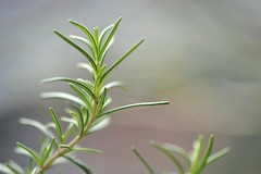 Rosemary (synapz557) Tags: macro sagada herb mtprovince micronikkor105mm sooc d700 afmicronikkor105mm synapz557 rcperezmd