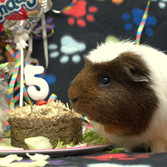 Happy Birthday Malcolm, 15 Apr 15 (Castaway in Scotland) Tags: pet cute animal scotland guinea pig cavy rodent adorable east lothian musselburgh