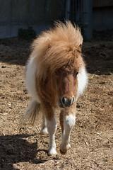Pauli (1/4) (HendrikSchulz) Tags: germany deutschland stall pony april pferd pauli weh 2015 minishetty friesenstallweh