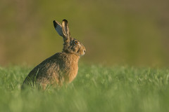 Brown Hare (Wouter's Wildlife Photography) Tags: nature mammal rodent hare wildlife haas beanbag billund lowangle brownhare zoogdier pattedyr
