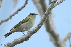Tennessee Warbler (TomLamb47) Tags: park bird nature st tennessee wildlife petersburg ft desoto warbler tierra tewa verds floridsa