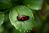 rouge et noit (Nicolas Laud) Tags: wild macro nature insect insecte widness