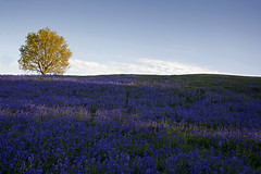 The Bluebell Bank, Midhurst (Explored) (Simon Verrall) Tags: blue tree bluebells westsussex horizon midhurst benbow cowdray