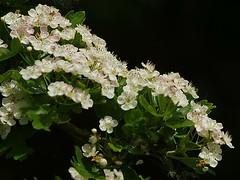 Hawthorn Blossom, Rutland Water K__36626 (Mike07922, 3.3 Million+ Views - thanks guys) Tags: wild nature rutland pentaxk3 leicestershireandrutlandtrust