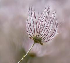 seed head (marianna_a.) Tags: plant macro thread colorado bokeh head fine silk seeds messy hairs mariannaarmata p2480576