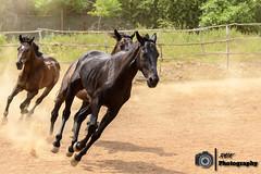 Chennai Polo and Riding Club, India (rvk82) Tags: horses india photography nikon wildlife july chennai animalsbirds tamilnadu southindia in 2016 rvk nikkor70200mm nikond500 pudupakkam egattur rvkphotography july2016 chennaipoloandridingclub
