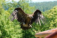 roughboy Blacky (bmachmueller) Tags: geier bird falknerei falcony aasgeier raubvogel outside outdoor natur nature canon 60d eos60d mnchsgeier flugaufnahme