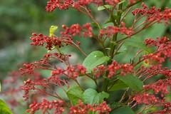 319A3523 Find the Agama. Green garden lizard - Calotes calotes, Sri Lanka (Priscilla van Andel (Uploading database)) Tags: greengardenlizard calotescalotes srilankanherps agama agamasofsrilanka