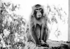 Macaca fuscata --  Japanese Macaque 1269 (2) (Tangled Bank) Tags: asahiyama zoo zoological gardens hokkaido japan primate macaca fuscata japanese macaques 1272 monkey snow