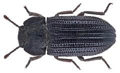 Gonocephalum alternicostis (Gebien, 1910) (urjsa) Tags: africa insect kenya beetle afrika insekt kenia kfer coleoptera kaefer tenebrionidae taxonomy:order=coleoptera taxonomy:family=tenebrionidae geo:country=kenya gonocephalum taxonomy:genus=gonocephalum alternicostis gonocephalumalternicostis taxonomy:binomial=gonocephalumalternicostis taxonomy:species=alternicostis