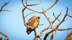 Vulture up high (aaRJay fotography) Tags: botswana chobenationalpark raghujana wildlife aarjayphotography africa bird vulture