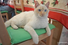 Cat !!! (Monde-Auto Passion Photos) Tags: animal chat patte poil yeux bleu beige oreille flin france