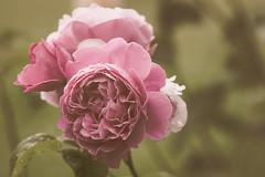Rose d'antan (S@ndrine Nel) Tags: flower fleur rose closeup flora blossom bloom flore flickrdiamond nelsandrine