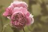 Rose d'antan (S@ndrine Néel) Tags: flower fleur rose closeup flora blossom bloom flore flickrdiamond néelsandrine