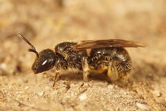 Groefbij soort - Lasioglossum species (henk.wallays) Tags: