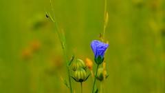 la culture du lin (Yasmine Hens) Tags: flower green nature fleur europa flickr belgium ngc vert lin namur hens yasmine wallonie pourpre chanvre world100f iamflickr flickrunitedaward hensyasmine