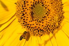 Im Anflug - on approach-4281 (Holger Losekann) Tags: macromarvels sonnenblume sunflower insekt makro