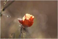 impression... (mars-chri) Tags: coquelicot fpapavéracées amapola laprairie auverssuroise valdoise