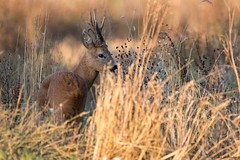 Brocard (Morgane_W) Tags: chevreuil brocard roedeer buck capreoluscapreolus animal sauvage faune wildlife nature canon80d tamron150600