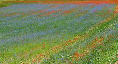I colori parlano di noi ed esprimono una vasta gamma di sentimenti ed emozioni. (Bruno Tardioli) Tags: emozioni colori monti sibillini castelluccio norcia color fiori fleur pittore