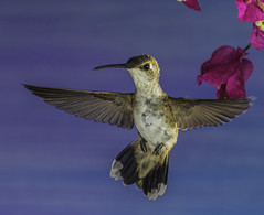 Hanging In There (Bill Gracey) Tags: calypteanna hummingbird hummer fleur flor aerialmaneuver annashummingbird poway paintedbackdrop offcameraflash flowers flores avianphotography nature naturephotography yn560iii yn560 yn560ii yongnuorf603n manualmode bif birdinflight feeding sharp detail clarity