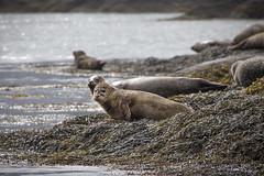 That Seals it. Garnish Island, County Cork (Sean Hartwell Photography) Tags: ireland sea seaweed west island wildlife cork atlantic seals bantrybay countycork garnish dirtylook