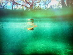 Eternal return (flowerweaver) Tags: outdoors landscape clouds waterscape river clear pristine water teal tree baldcypress leaf floating halfsubmerged ripples hss summer swim swimming green sky minnows fish