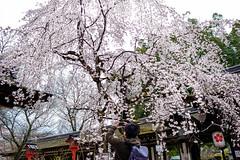 Japan Kyoto . . Hirano Shrine .   DSC_6070 (Ming - chun ( very busy )) Tags:  japan kyoto   hirano shrine        sukura cherryblossom cherry blossom   travel nikon d800 f18 28mm f1828mm 28mmf18 nikkor traveljapan nikon28mmf18 nikon28mm18 sakura flower