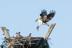 20160723-DSC_4946 (Ken Morain) Tags: birds osprey