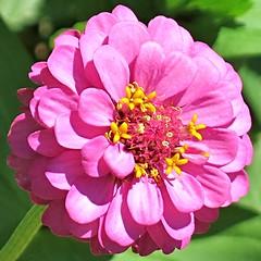 Zinnia macro ~ HCS! (karma (Karen)) Tags: home frontyard wildflowers macros brightcolors dof bokeh squared 4summer cliche hcs cmwd zinnia