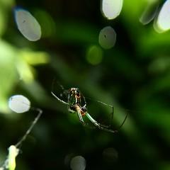 Santa elena - Antioquia (JicarsanPS) Tags: spider araa jardn serenidad fortaleza vida naturaleza fervor string green verdes aguamarina detalle msdetalle despertar acomodo agitado reprender ilusin pelcula deseo colombia antioquia