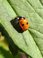 (Coccinellidae) Coccinella septempunctata, Sjuprickig nyckelpiga / Seven-spot ladybird (holgeric77) Tags: karlstad vrmlandsln sweden se coccinellidae coccinellaseptempunctata