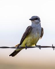 KINGBIRD, Western (teddcenter) Tags: flycatcher kingbird molt montana stillwatercounty westernkingbird