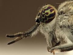 Haemotopa italica (Skrylten) Tags: haematopota italica tabanidae