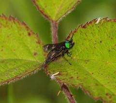 2016_07_0278 (petermit2) Tags: twinlobeddeerfly deerfly horsefly chrysopschrysops relictus pottericcarr potteric doncaster southyorkshire yorkshirewildlifetrust wildlifetrust ywt